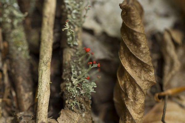 Flowering Red Lichen