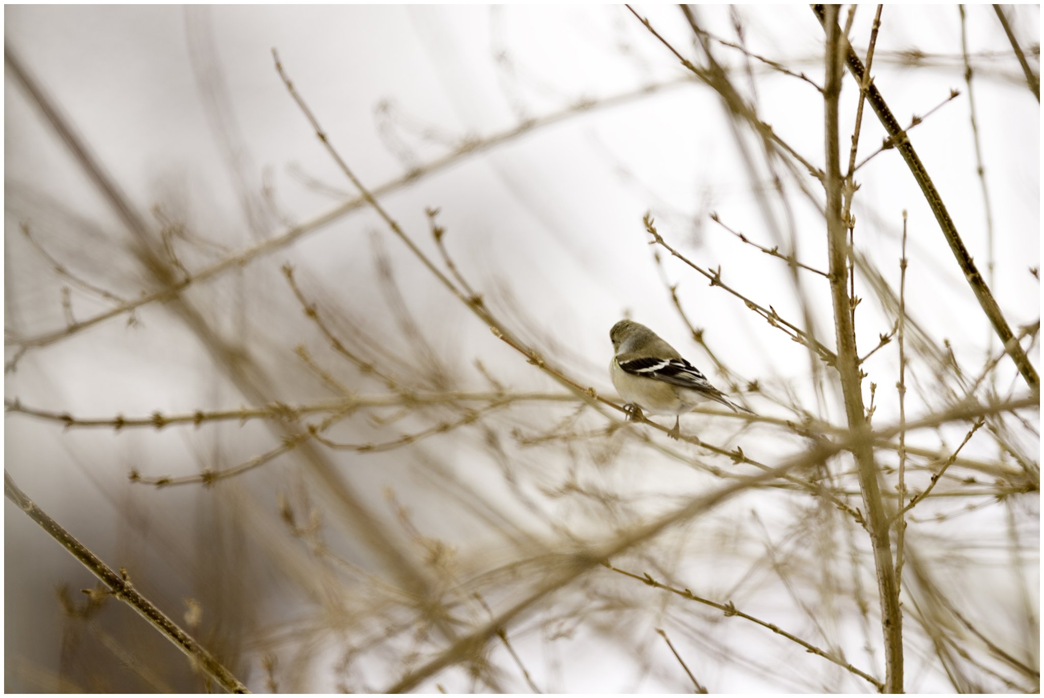 goldfinch in golden light.jpg
