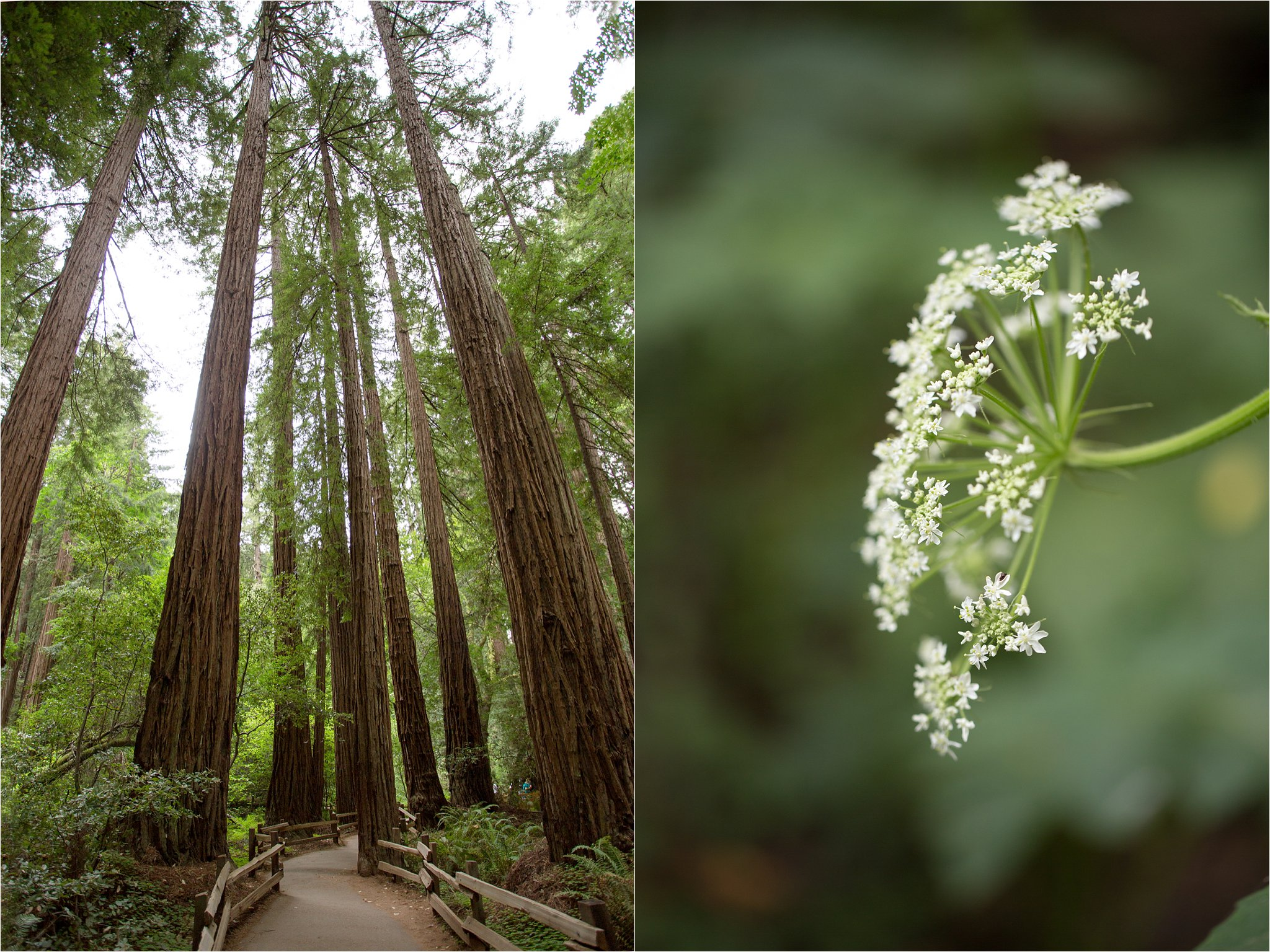 Muir Woods Path and Queen Anne's Lace