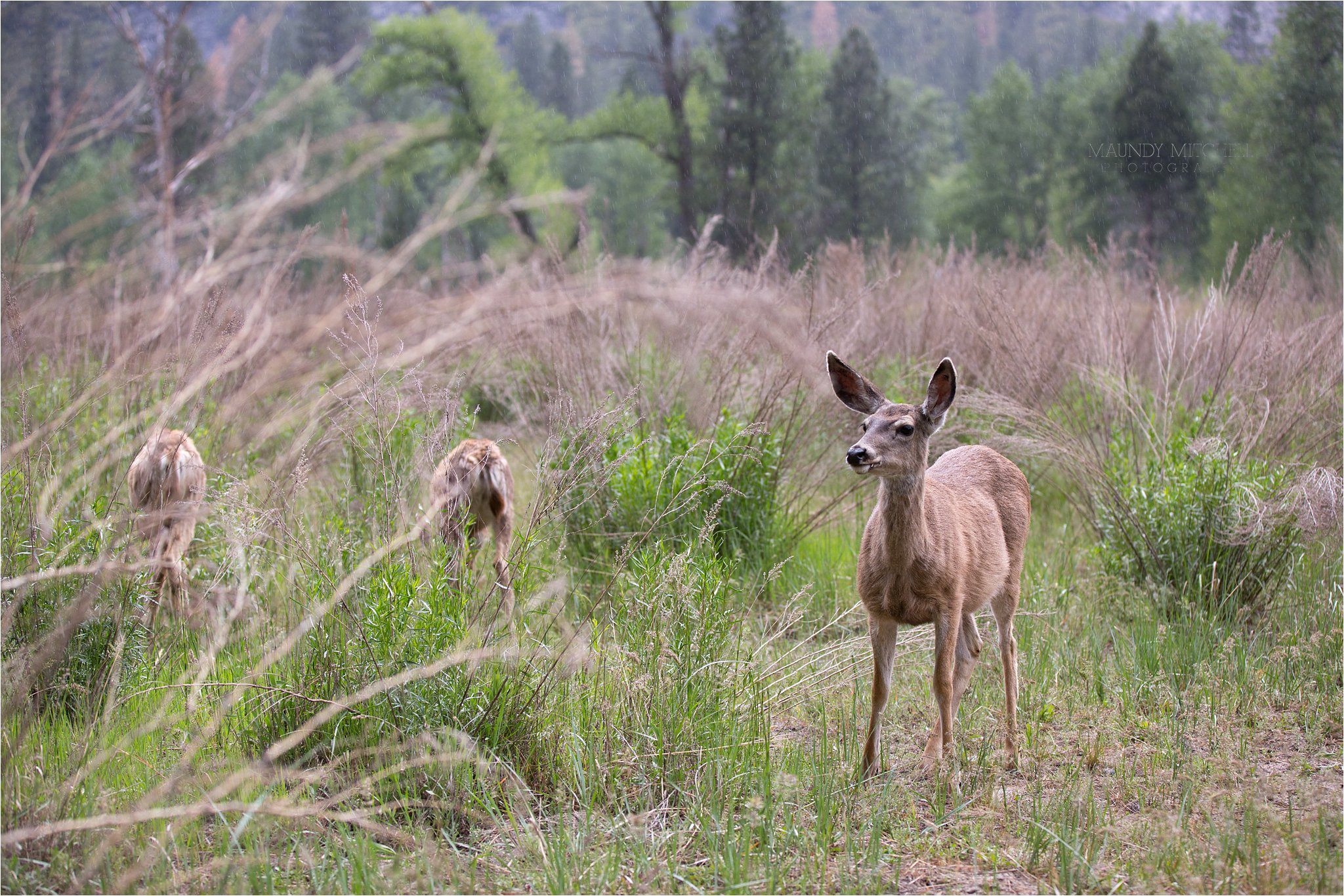 Deer in Yosemite 2