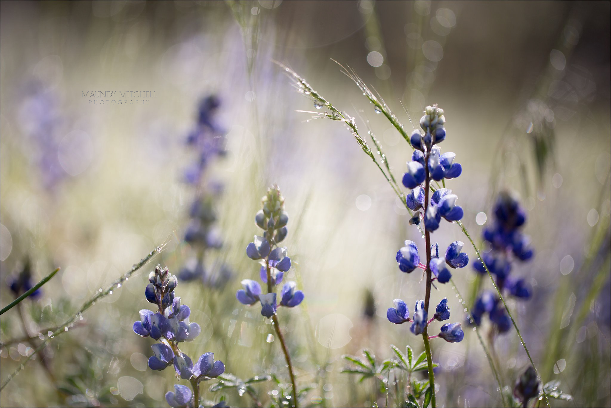 Lupine in Yosemite National Park