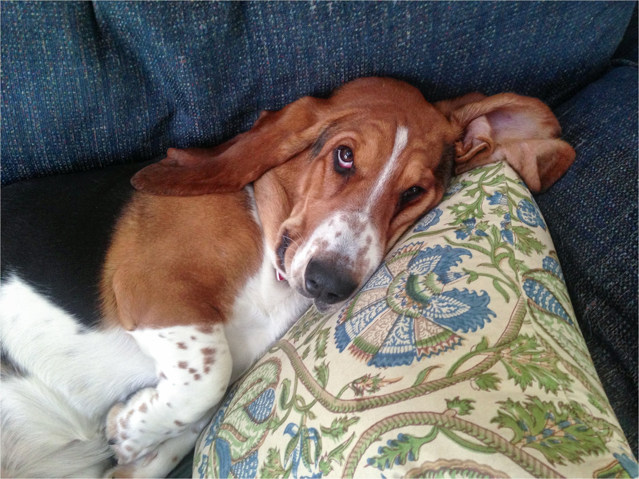 Basset Hound on the Sofa