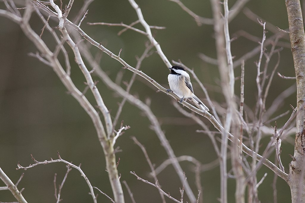 Black-capped Chickadee in NH_0001.jpg