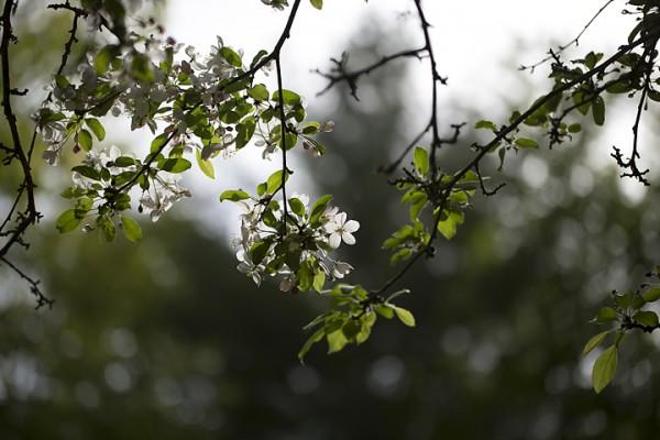 Backlit Cherry Blossom
