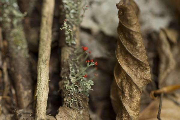 Flowering Red Lichen