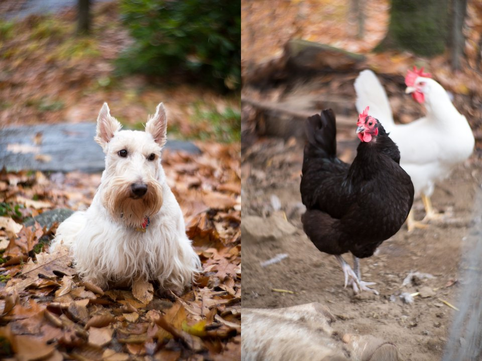 Wheaton Scottish Terrier and Chickens