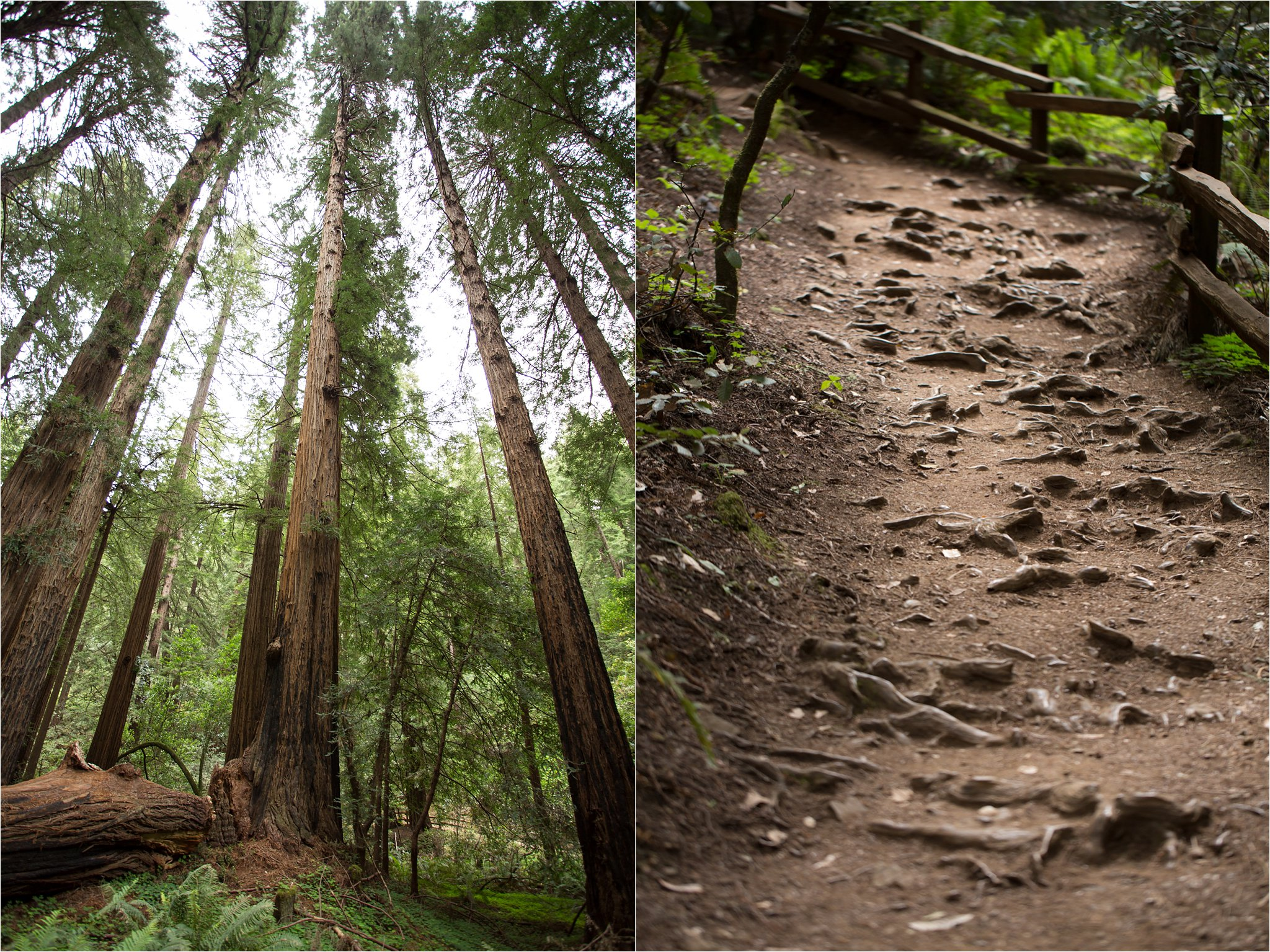 Redwoods and Path with Redwood Roots