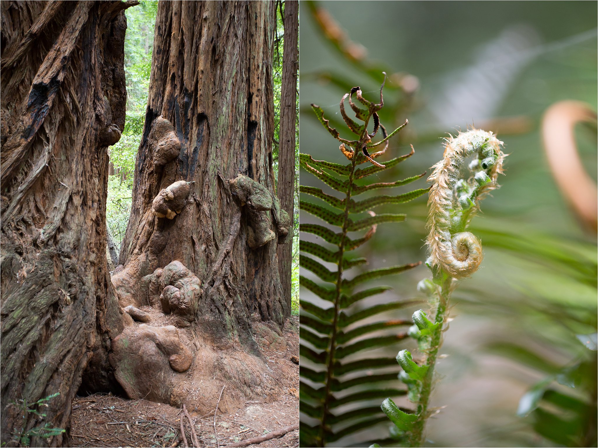 Muir Woods and Fern Detail
