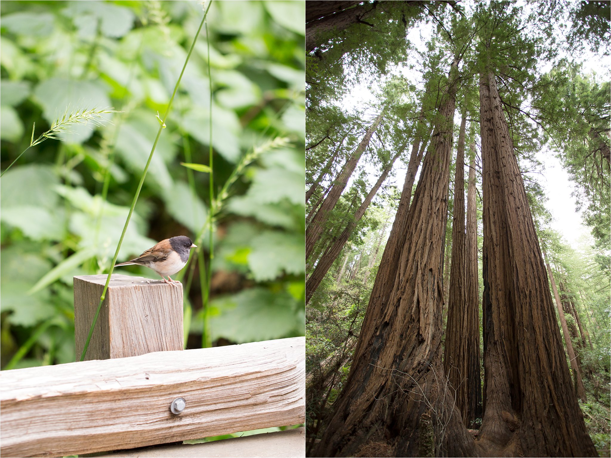 Songbird and Muir Woods