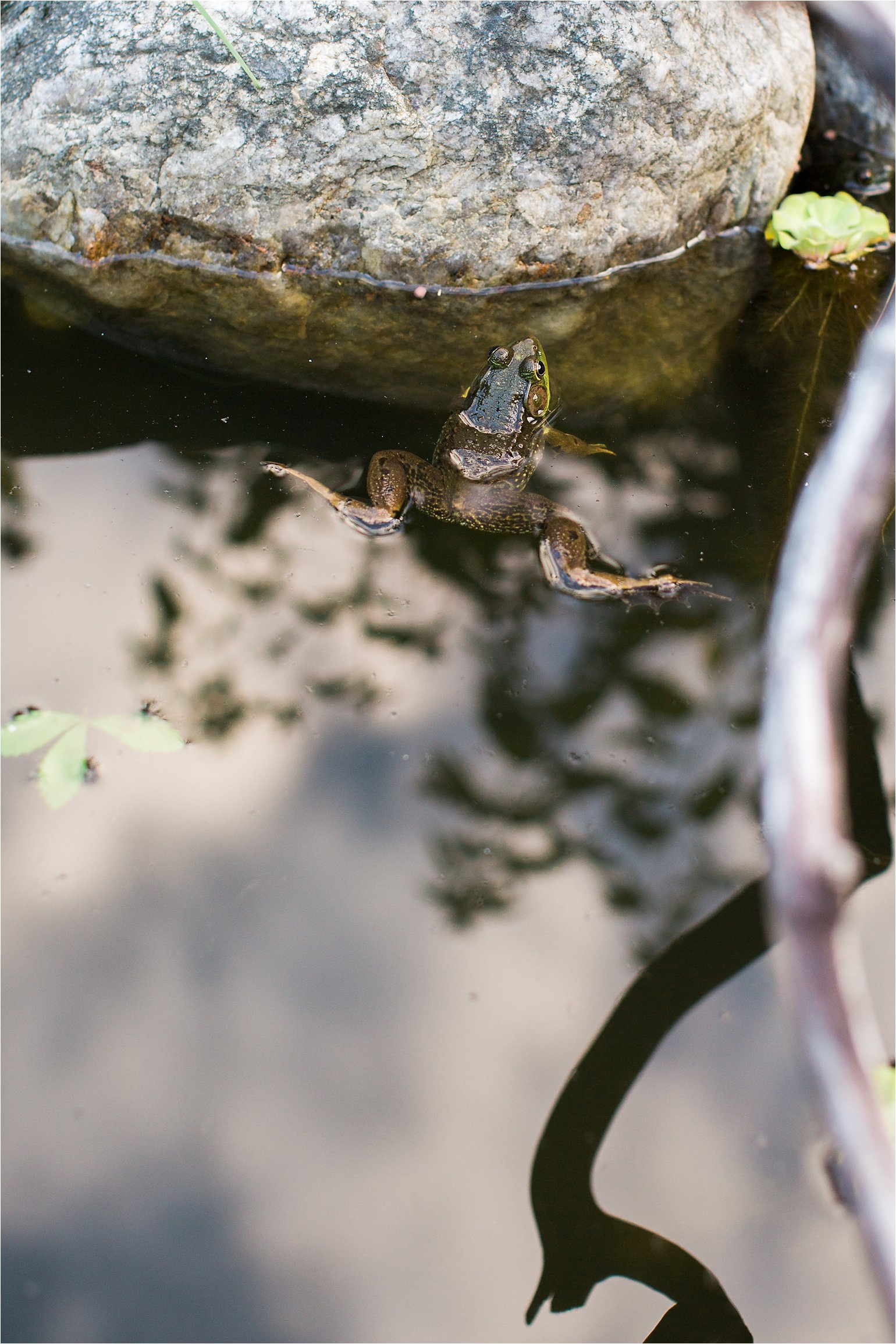 Frog in Pond © 2015 Maundy Mitchell