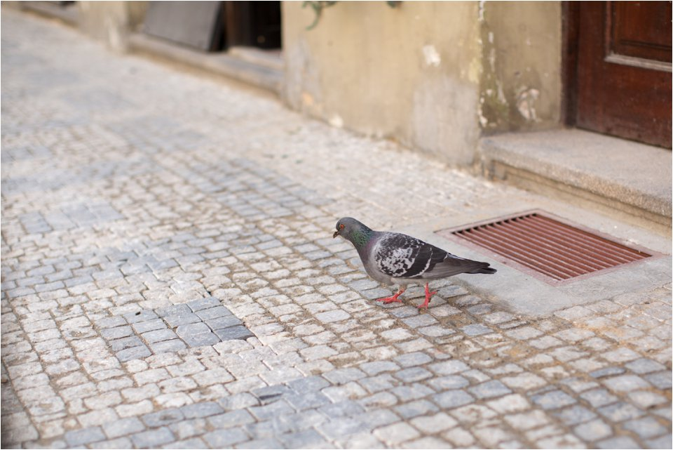 Pigeons in Prague (C) Maundy Mitchell