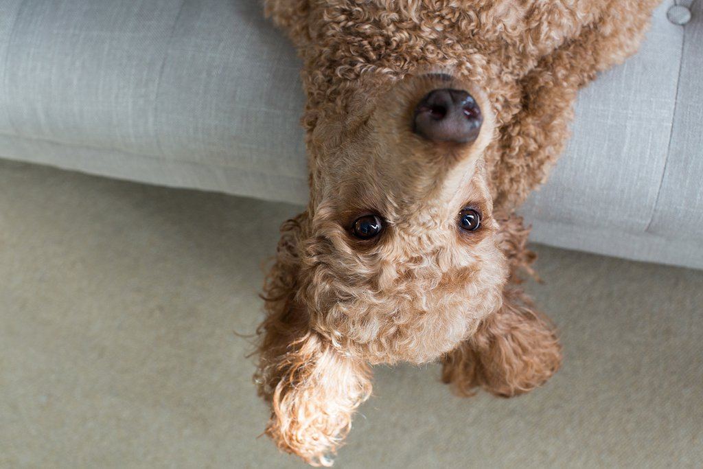 Lucy the Poodle, Upside Down_0010.jpg