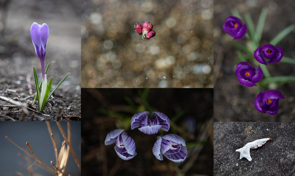 Photos from my garden in early spring:  crocuses, buds, the jawbone of a mouse