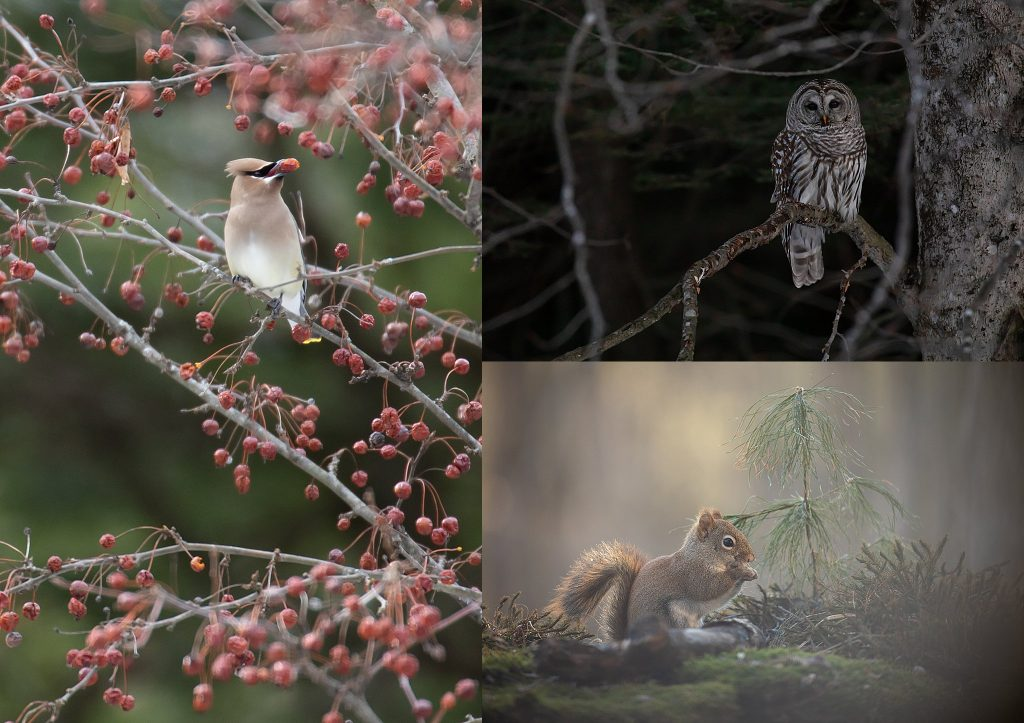 A cedar waxwing, a barred owl, a red squirrel